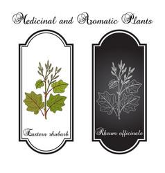 Eastern rhubarb rheum officinale medicinal plant vector