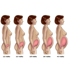Five stages of pregnancy vector image
