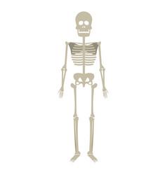 skeleton human anatomy skull bone medical science vector image vector image