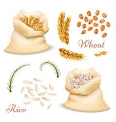 agricultural cereals - wheat and rice isolated on vector image