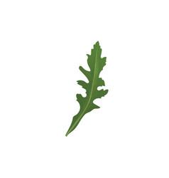 arugula herb spice vector image