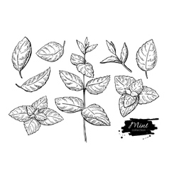 Mint drawing set isolated plant vector