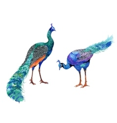 Watercolor drawing peacocks vector