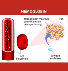 molecule haemoglobin vector image vector image