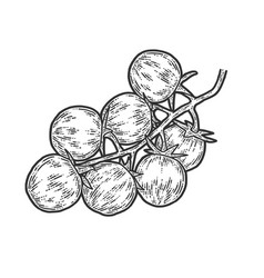 Cherry tomatoes sketch scratch board imitation vector