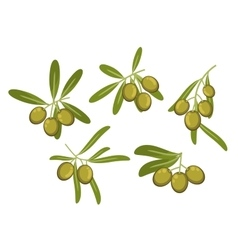 Olive tree branches with green fruits and leaves vector image