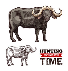 African cape buffalo or desert ox mammal animal vector