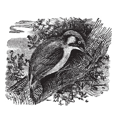 Woodpecker vintage engraving vector image