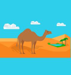 Dromedary camel in desert in flat design vector