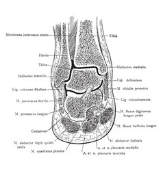 Frontal section of foot and ankle vintage vector