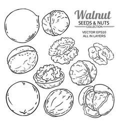 walnut seeds set on white background vector image