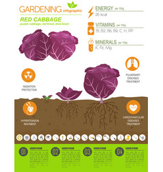 red cabbage beneficial features graphic template vector image