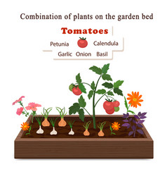 growing vegetables and plants on one bed tomatoes vector image