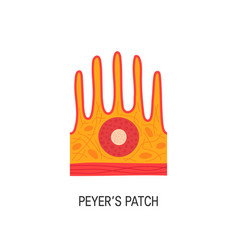peyers patch vector image