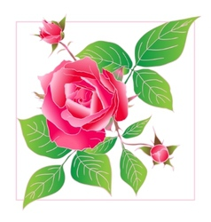 Beautiful rose isolated on white vector image vector image