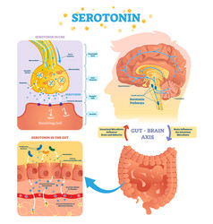 serototin gun and brain axis vector image