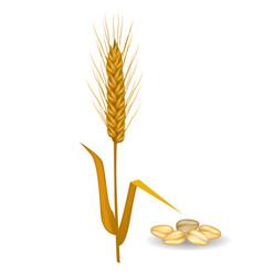 Barley ear near pile of grains poster on white vector