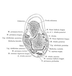 Cross section through malleolus of leg vintage vector