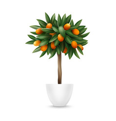 Kumquat tree in pot vector