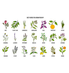 Best herbs for aromatherapy vector