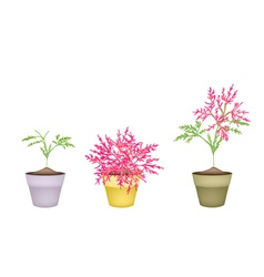 Beautiful Pink Flower on Tree in Terracotta Pots vector image