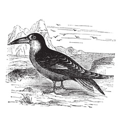 Black Skimmer vintage engraving vector