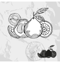 Hand drawn decorative pomelo vector image