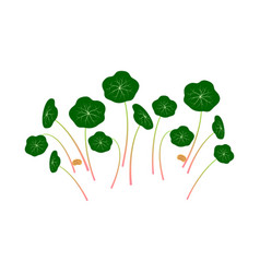 Micro greens nasturtium bunch plants white vector