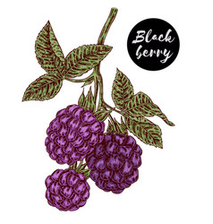 hand drawn color sketch berries ripe blackberry vector image vector image