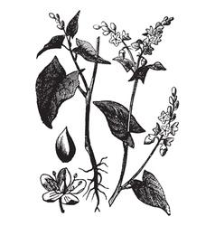 Buckwheat vintage engraving vector image