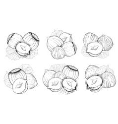 Hazelnut isolated on white background vector image