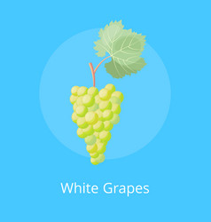 white grapes poster with bunch white gape vector image