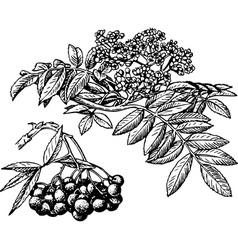 plant sorbus vector image