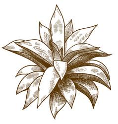 engraving echeveria or succulent vector image