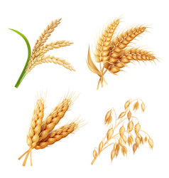 agricultural crops set rice oats wheat barley vector image
