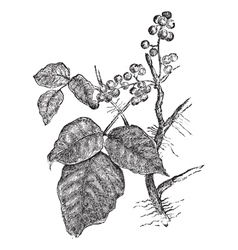Poison ivy vintage engraving vector image vector image