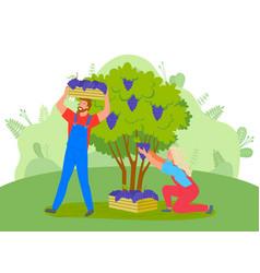 People picking grapes on farm farming garden vector