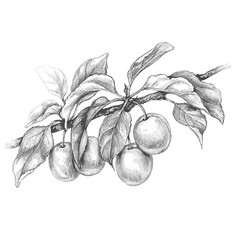 Plum branch pencil drawing vector