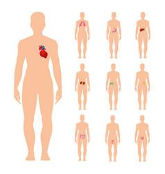 internal organs set vector image