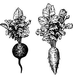 plant raphanus vector image vector image