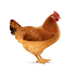 Brown hen on white vector