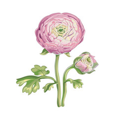beautiful gentle pink peony flower vector image