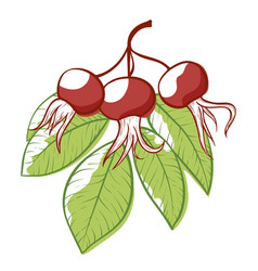 rose hip plant icon natural vitamin rosehip vector image