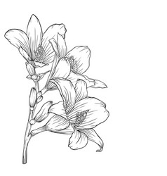 black and white bouquet lily isolated on vector image vector image