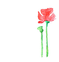 watercolor poppy isolated on white vector image vector image