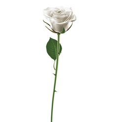Rose white vector image