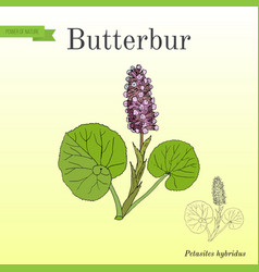 Butterbur petasites hybridus medicinal plant vector