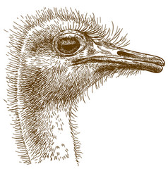 Engraving big ostrich vector