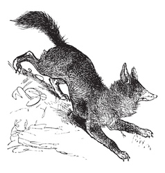 Red fox vintage engraving vector