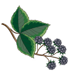 blackberry bush with green leaves isolated object vector image